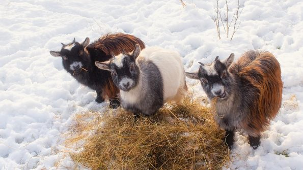 How to prepare your farm and animals for winter! – Kulshan ...